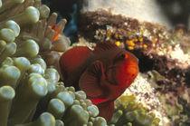 roter Anemonenfisch von Heike Loos