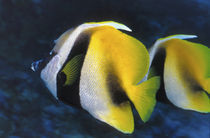 Wimpelfische von Heike Loos