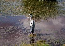 gray heron (Graureiher) by Stefanie Härtwig