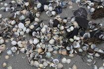 Verschiedene Muscheln am Nordseestrand by petra ristau