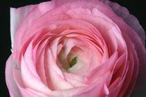 Hello Lightful Springtime - Pinkfarbene Ranunkel von lizcollet