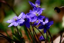 Ich kommmeeeee | Leberblümchen mit Hummelanflug by lizcollet
