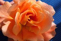 Apricot Summer Rose von lizcollet