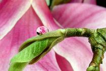 Magnolia by lizcollet