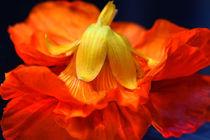 Primadonna des Fleurs by lizcollet
