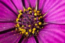 Purple daisy flower macro von Mario Cehulic