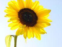 Sonnenblume von flossmeisterin