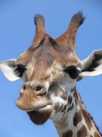 Giraffe von Manuela Krause
