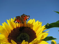 SUNFLOWER AND BUTTERFLY von Manuela Krause