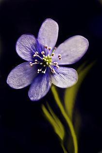 blaue blüte by Ingrid Clement-Grimmer