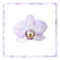 Weisse Orchidee von Wolfram Otlinghaus