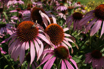 Echinacea by farbart