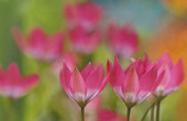 Wild tulips by lightspectral