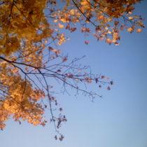 Ahornzweig im hellblauen Himmel