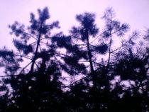 Violett und Siluettennadelbäume