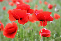 roter Mohn by Ingrid Clement-Grimmer