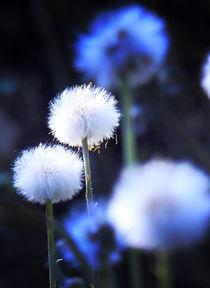 Pusteblumen im Frühling von mariuslindhain