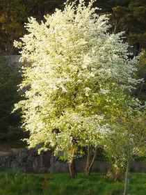 Frühlingsbaum by fotokunst