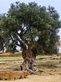 Olivenbaum Sizilien von fotokunst