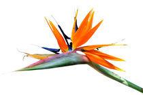 Paradiesvogel von gnubier