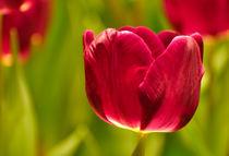Rote Tulpe von gnubier