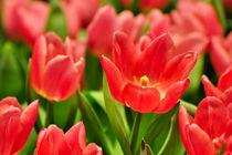 Rote Tulpen II von gnubier