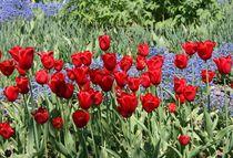 Tulpen by Peter M. Marxbauer