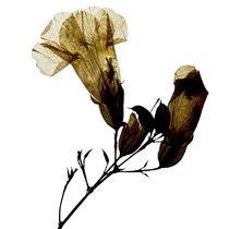 Blüte natur durchleuchtet by Iris Kaschl