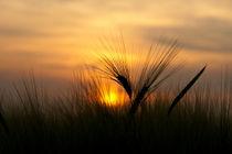 Sunset am Weizenfeld by scphoto
