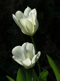 Weiße Tulpen by Martina Rathgens