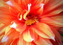 Feuerfarbene Dahlienblüte by Juana Kreßner