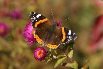 Schmetterling Admiral von Juana Kreßner