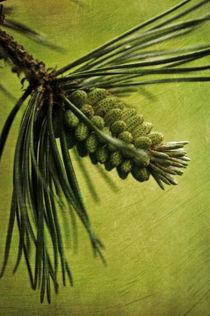 Pine von piri