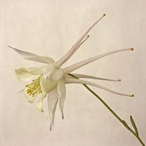 White Beauty by piri