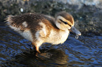 Duckling, Upper Newport Bay by Eye in Hand Gallery