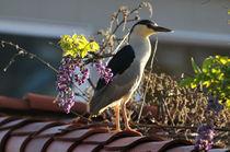 Black-Crowned Heron, Newport Beach by Eye in Hand Gallery