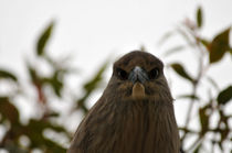 Young Night Heron by Eye in Hand Gallery