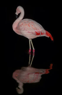 Flamingo von marcus Fischer