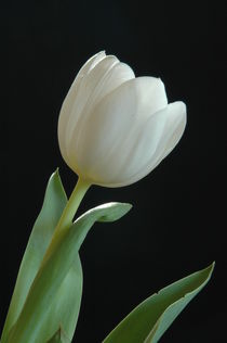 Tulip by Peter Steinhagen