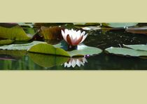 Water lily by Peter Steinhagen