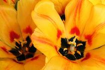 Herzliche Tulpengrüsse von pichris