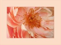 PFINGSTROSE  Paeonia officinalis by pichris