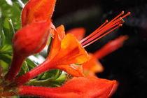 Azalee 2 - azalea by ropo13