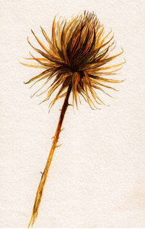 Distel Aquarell by Wildis Streng