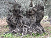 Alter Olivenbaum von pahit
