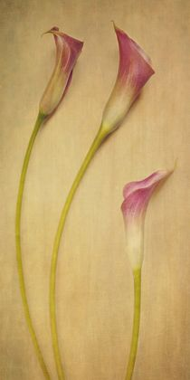 calla lilies von Priska  Wettstein