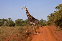 Twiga von safaribears
