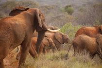 Elephants! by safaribears