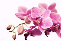 orchidee II von hannes cmarits