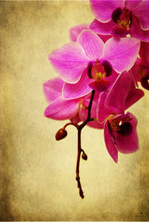orchidee IV by hannes cmarits